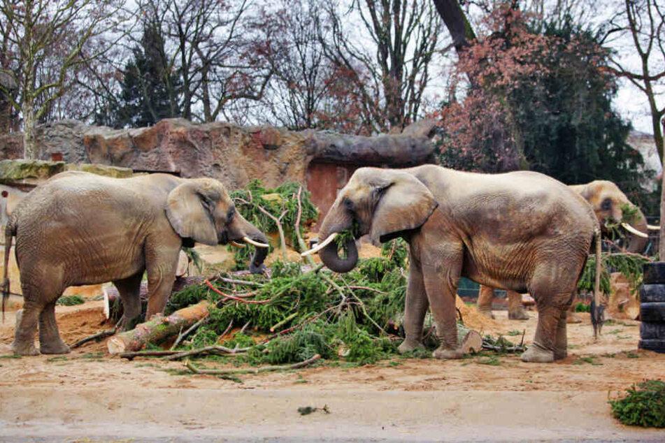 Den Elefanten schmeckt die Riesenfichte.