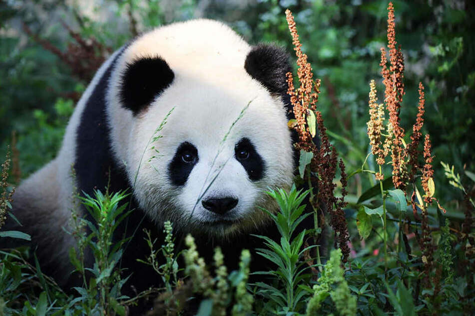 """Riesenpanda """"Meng Meng"""" (dt. Träumchen) in der Zuchtstation im Chengdu in der südwestchinesischen Provinz Sichuan (China)."""