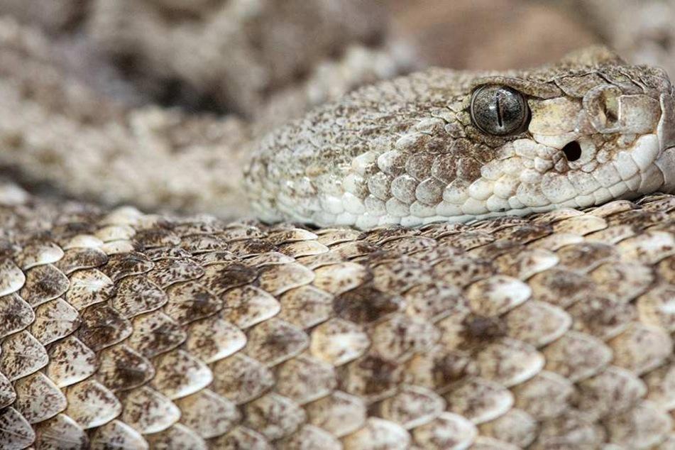 Schlangen werden auf Mallorca mancherorts zur Plage. Giftig sind sie nicht, aber sehr angriffslustig und gefährlich (Symbolbild).