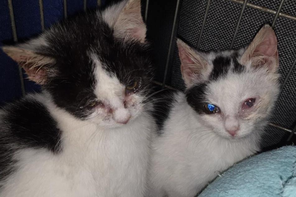 Katzen-Babys in arger Not: Das Tierheim kennt den Schuldigen!