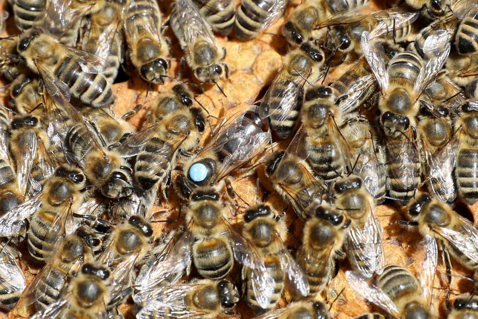 Pro Jahr produziert ein Bienenstock 25 bis 30 Kilo Honig (Symbolfoto).