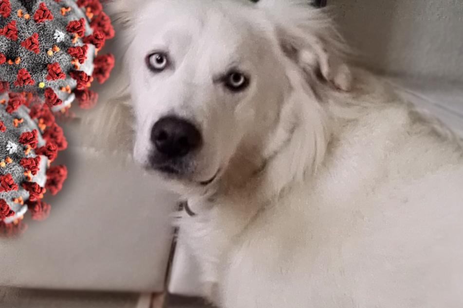 Hunde sollen Coronavirus erschnüffeln