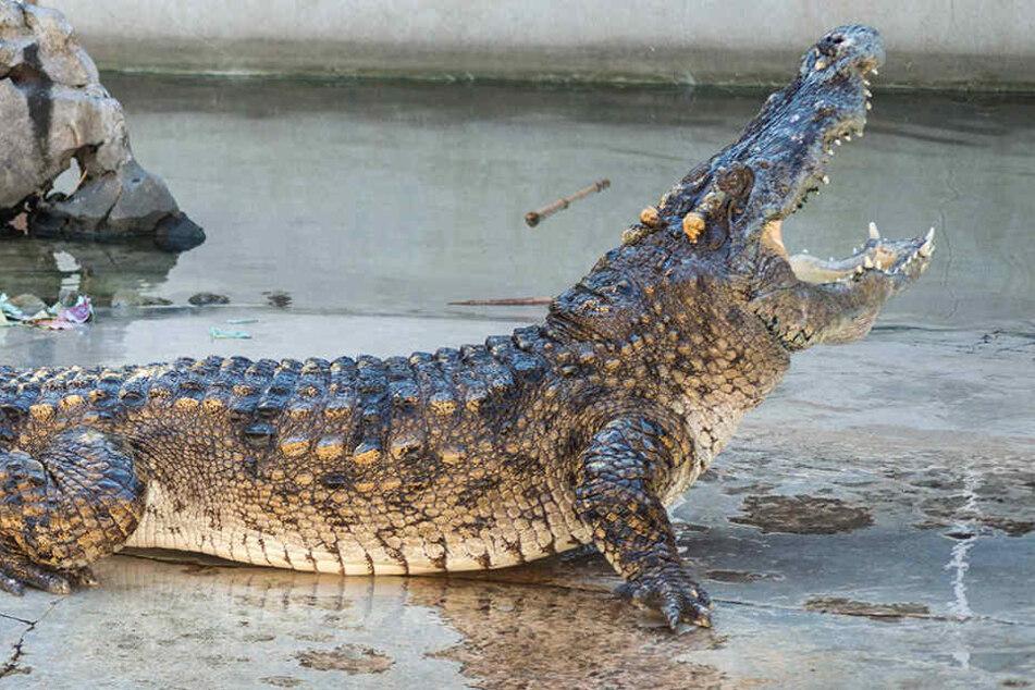 Anwohner in Angst: Mehr als 25 Krokodile brechen aus Farm aus