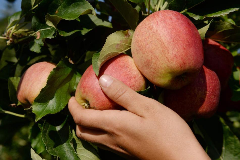 Die Diebe konnten über zwei Tonnen Äpfel ergattern.