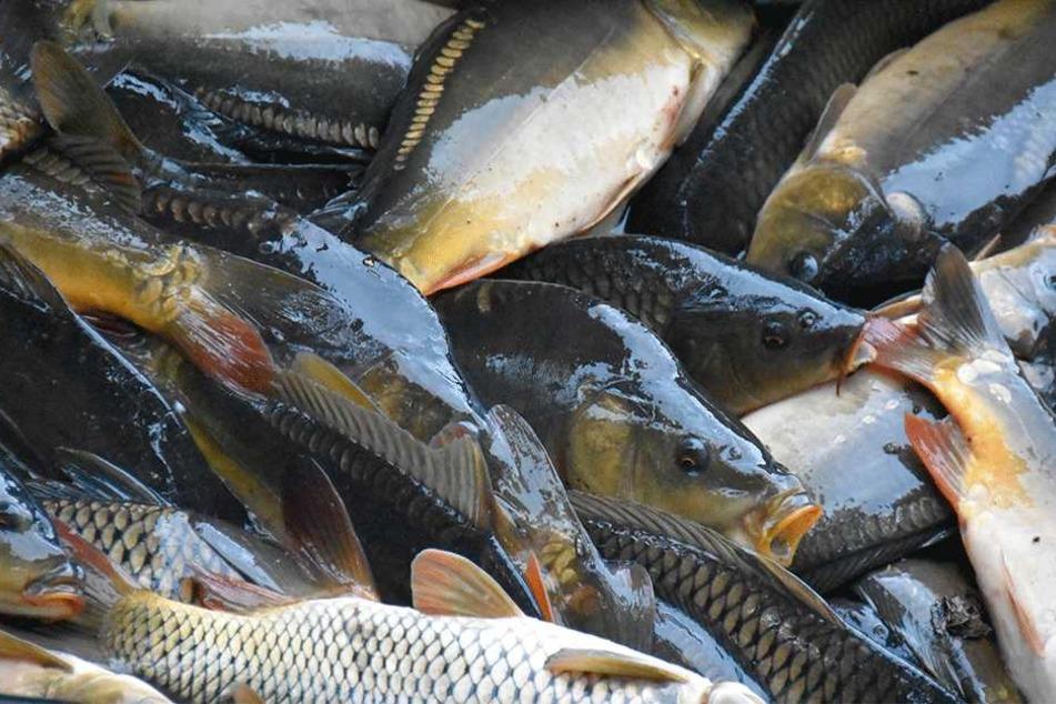 Rund zwei Tonnen Fisch mussten notabgefischt werden.