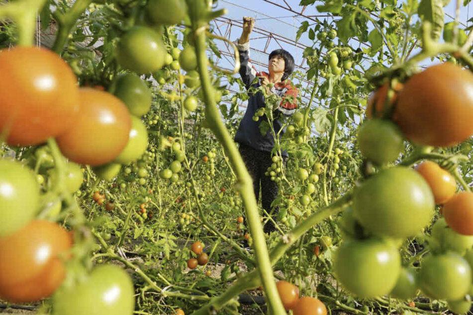 Ein Landwirt pflegt Tomatenpflanzen in einem Gewächshaus in der Provinz Heibei im Norden Chinas.