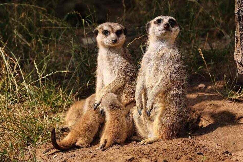 Horst und Hilde sichern das Terrain, damit die lieben Kleinen kuscheln, spielen und säugen können.