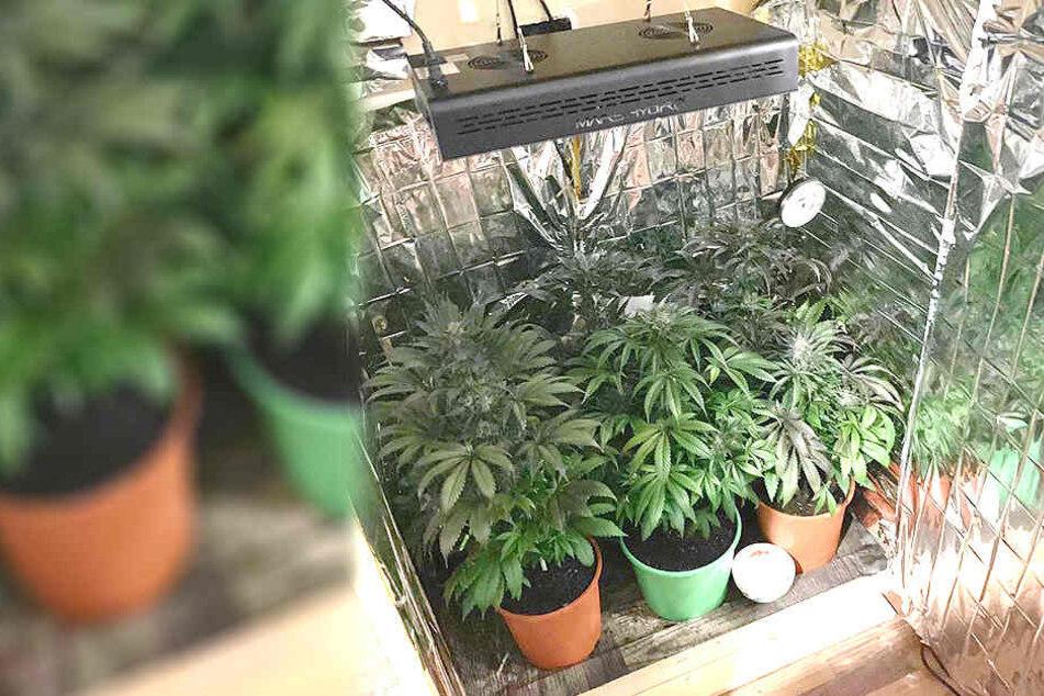 In einem präparierten Schrank zog ein Mann Cannabispflanzen auf.