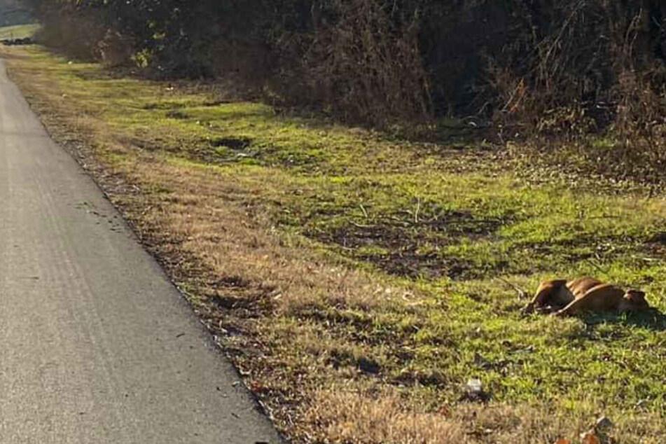 Marissa Belle fand den Rüden erschöpft am Straßenrand liegend.