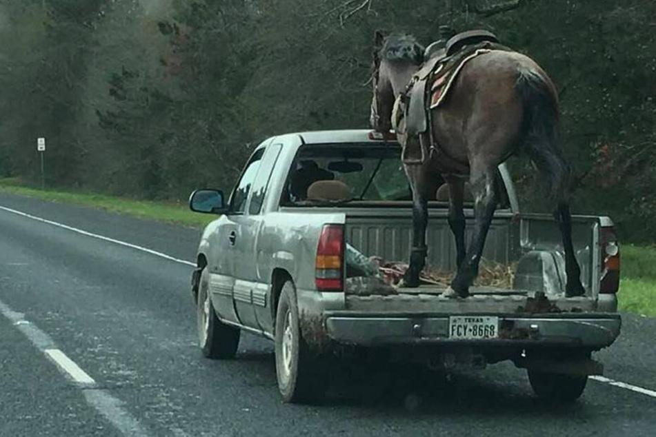 Das Pferd stand auf der Ladefläche eines Pick-ups!