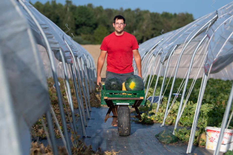 Landwirt Johannes Dittert erntet auf einem Feld Melonen.
