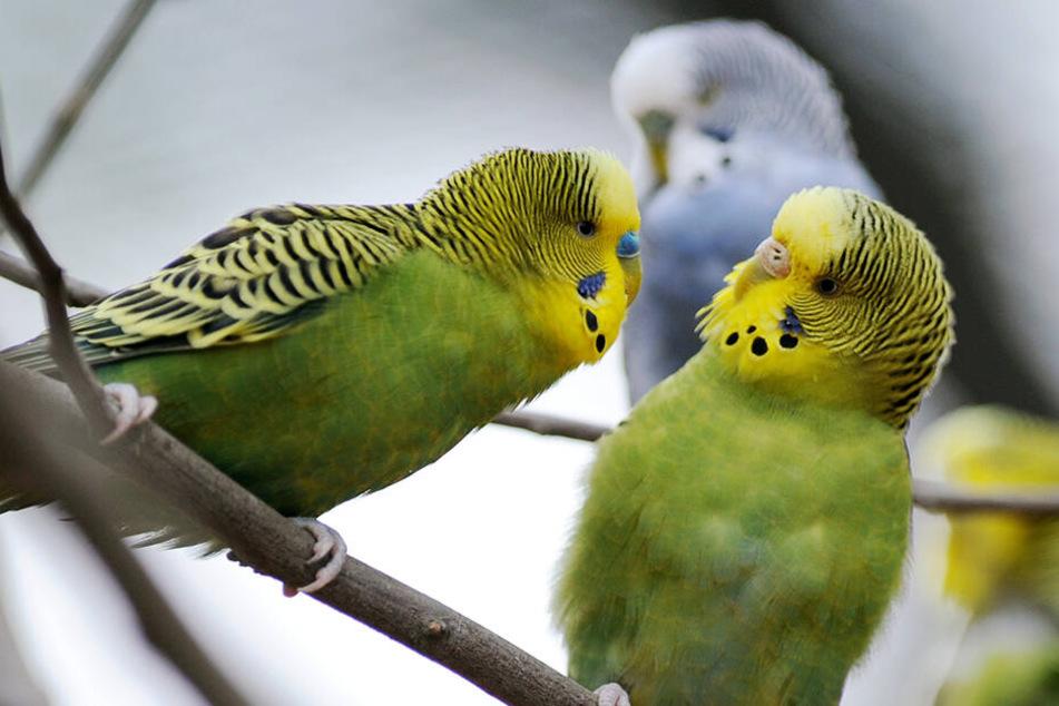 Einer flirtet, einer pennt. Am Ende entscheidet sich das Weibchen (re.) für den Schlaueren.