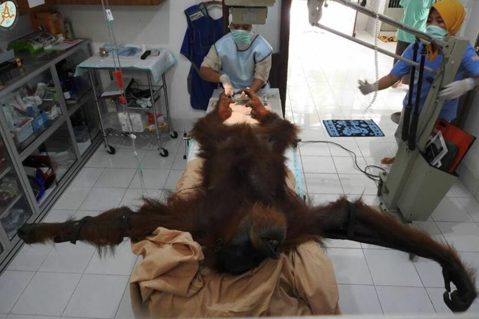 Bei dem Orang-Utan wurden 74 Gewehrkugeln gefunden.