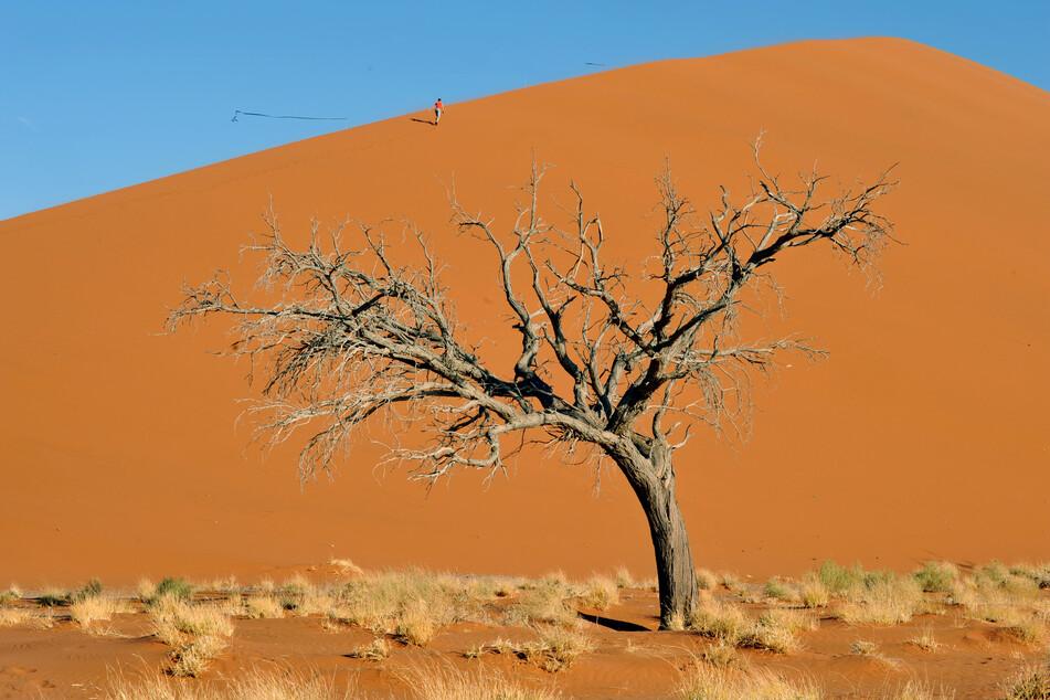 Ein Gewinn für alle? Hamburg will Buschholz aus Namibia verfeuern