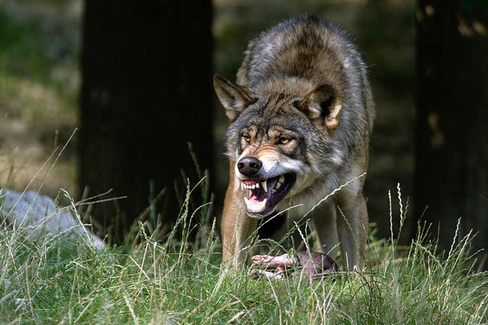 Der geschützte Wolf verbreitet  sich weiter im Freistaat. Vor allem das Rosenthaler Rudel hat gelernt, über  Fest- und Elektrozäune zu springen.