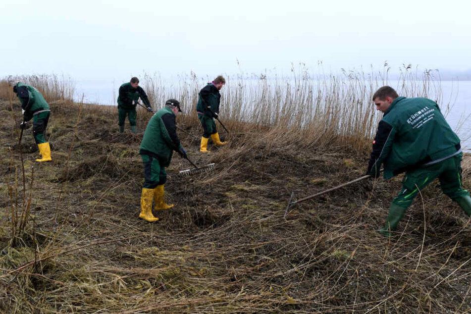 März 2018: Städtische Arbeiter reinigen einen Uferstreifen an der Schlei von Plastikmüll.