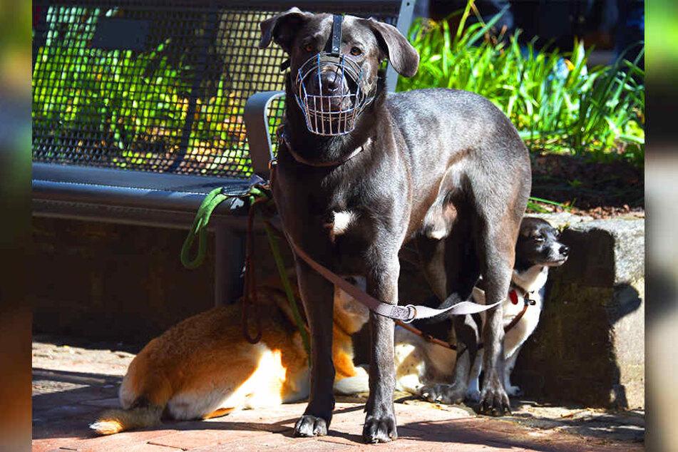Für einige Hunderassen, die als gefährlich eingestuft werden, müssen Herrchen und Frauchen 540 Euro Hundesteuer jährlich hinblättern.
