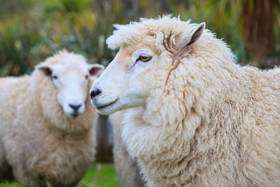 In Plauen sind vier Schafe von einer Wiese verschwunden. Mindestens ein Tier ist tot. (Symbolbild)