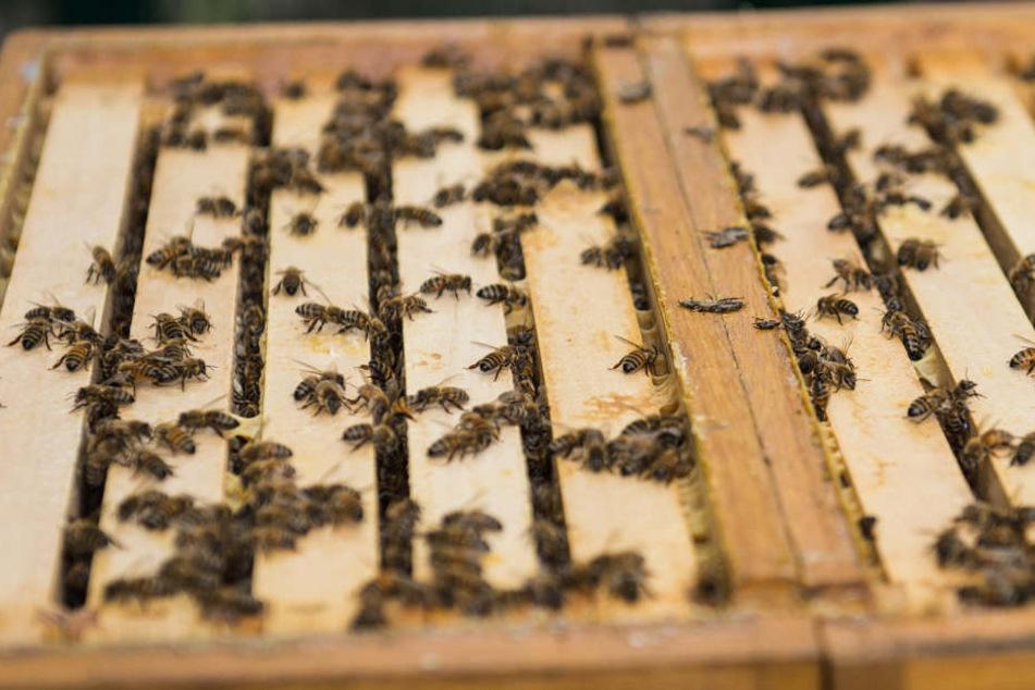 Bei zu dichter Ansiedlung ist die Krankheitsübertragung zwischen Bienen um einiges wahrscheinlicher. (Symbolbild)
