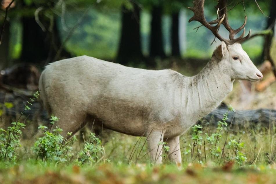 Die weißen Hirsche gehören zur Gattung des Rotwildes. (Symbolbild)