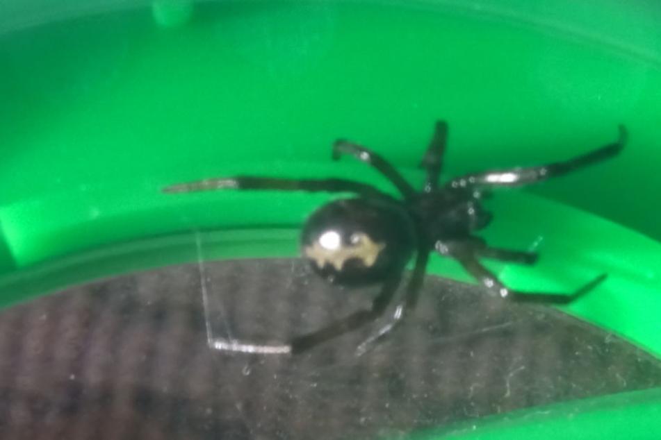 Falsche Witwe in der Küche: Polizei findet giftige Spinne