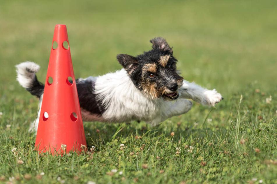 Den Umgang mit anderen Welpen und älteren Hunden lernt der Vierbeiner am besten in einer Hundeschule.