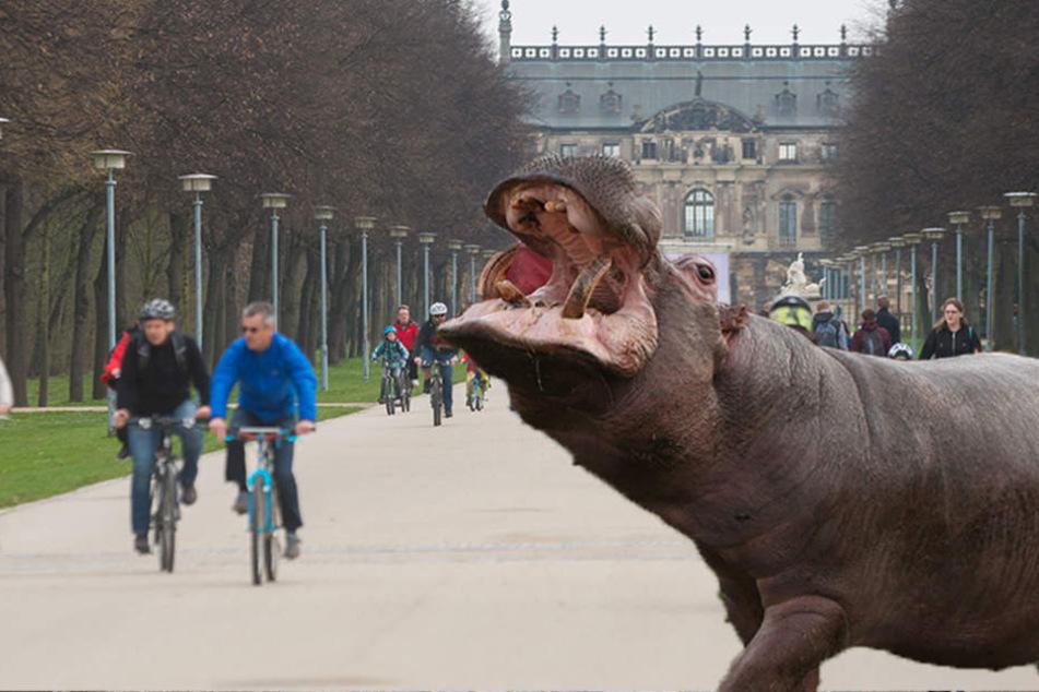 Läuft gerade wirklich ein Flusspferd durch den Großen Garten?