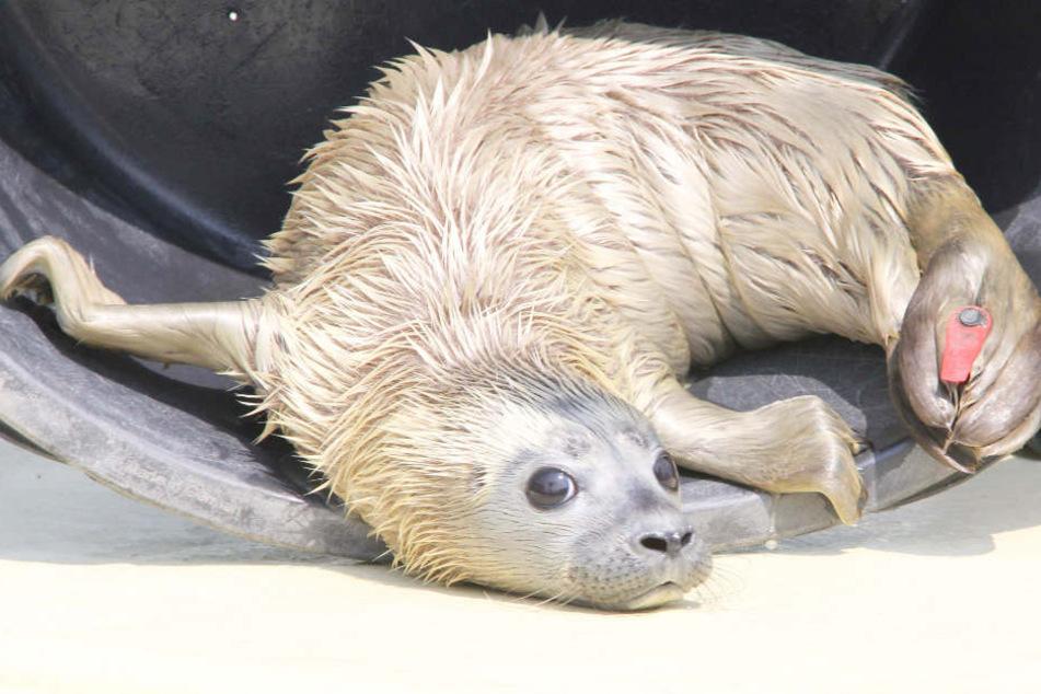 """Seehundbaby """"Primus"""" wurde auf Helgoland gefunden und ist nun in der Seehundstation."""