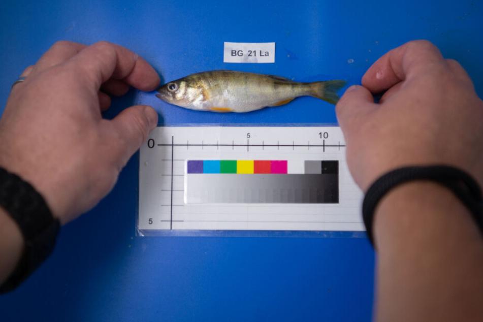 Ein Mitarbeiter legt während der Auswertung eines Fangs einen Barsch auf einen Fototisch.