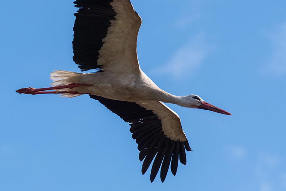 Ein Weißstorch im Flug. Die Tiere kehren nun nach und nach aus dem Süden zurück.