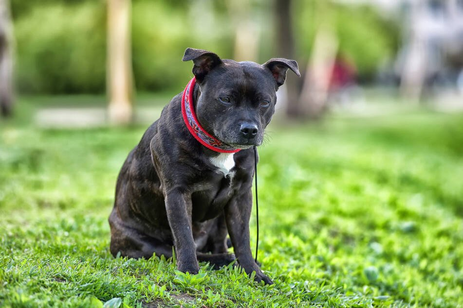 The 13-year-old Staffordshire bull terrier died of his severe injuries (stock image).