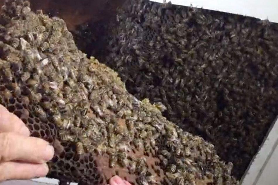 Hinter der Zimmerdecke kamen tausende Bienen zum Vorschein!