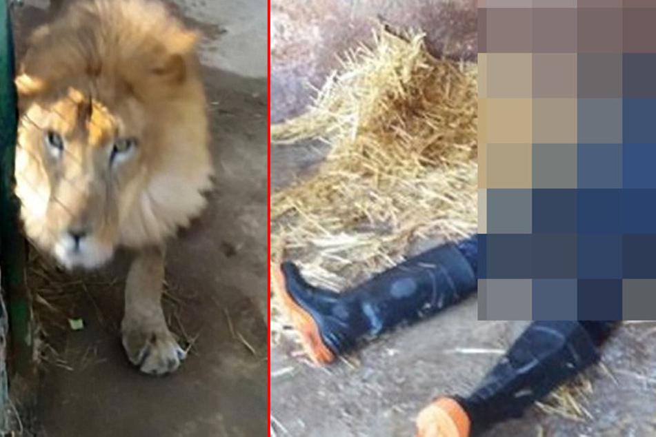 Die Löwin sprang dem Tierpfleger an die Kehle und tötete ihn.