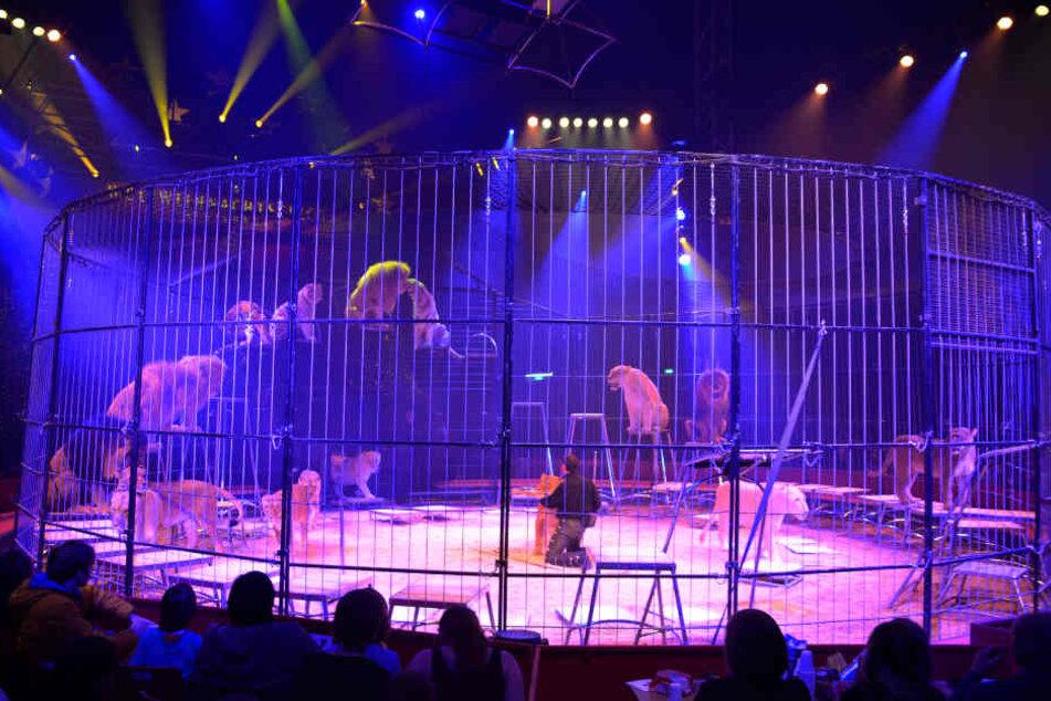 Raubtiernummern bietet Dompteur Martin Lacey vom Circus Krone.