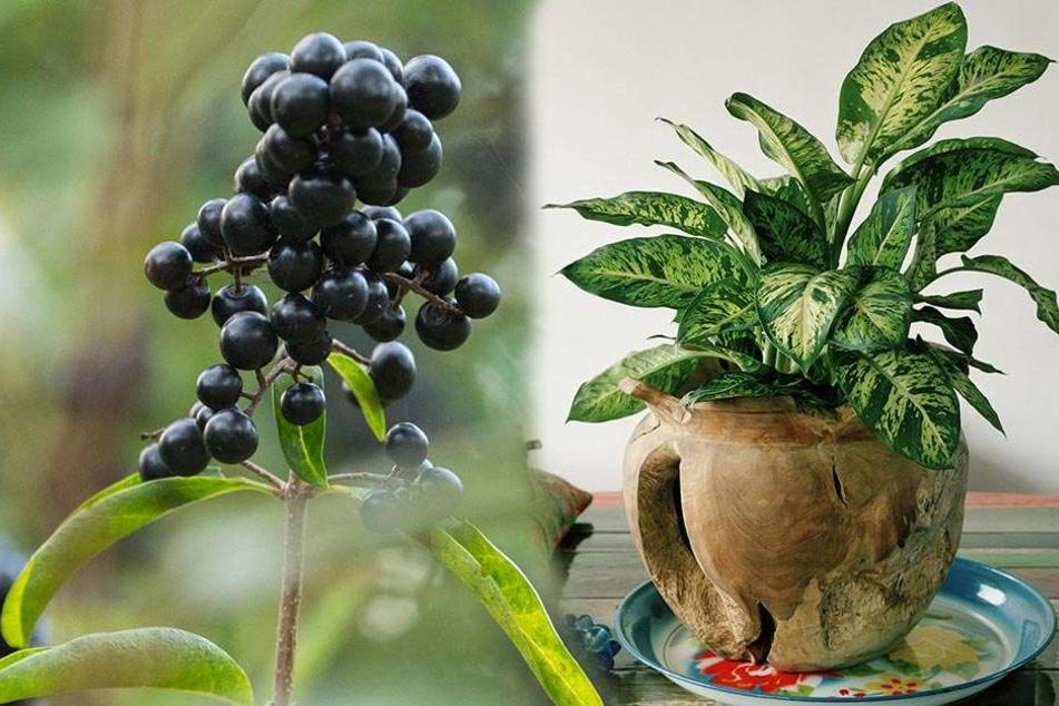 Diese beliebte Zimmerpflanze ist lebensgefährlich