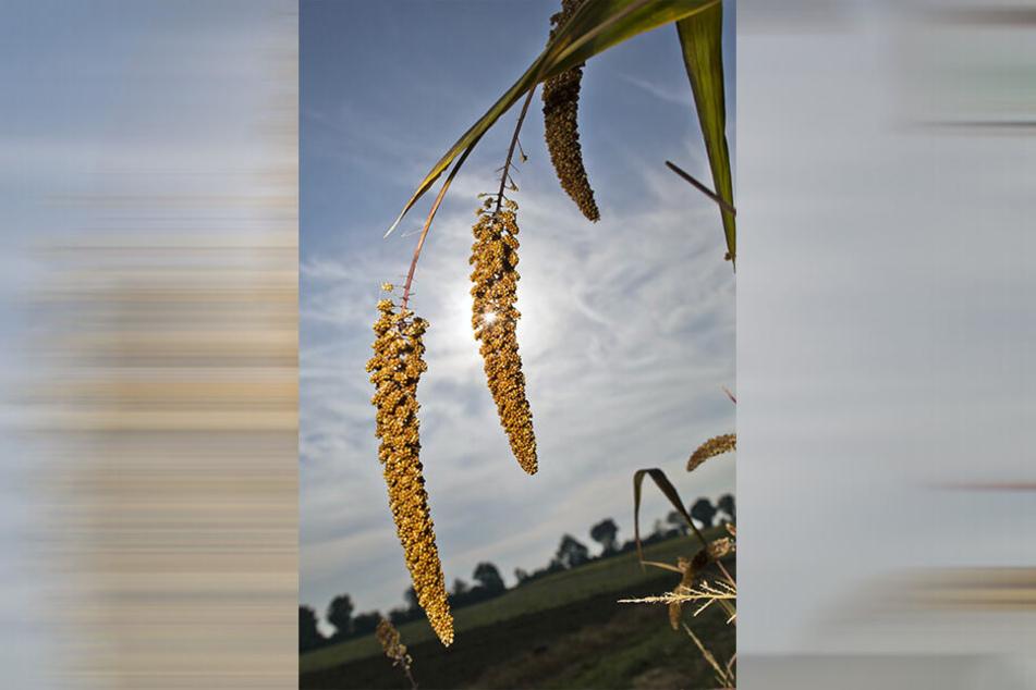 Hirse könnte für Sachsens Bauern im Klimawandel zur Alternative werden. Das Getreide kommt mit Trockenheit besser zurecht als etwa Weizen.