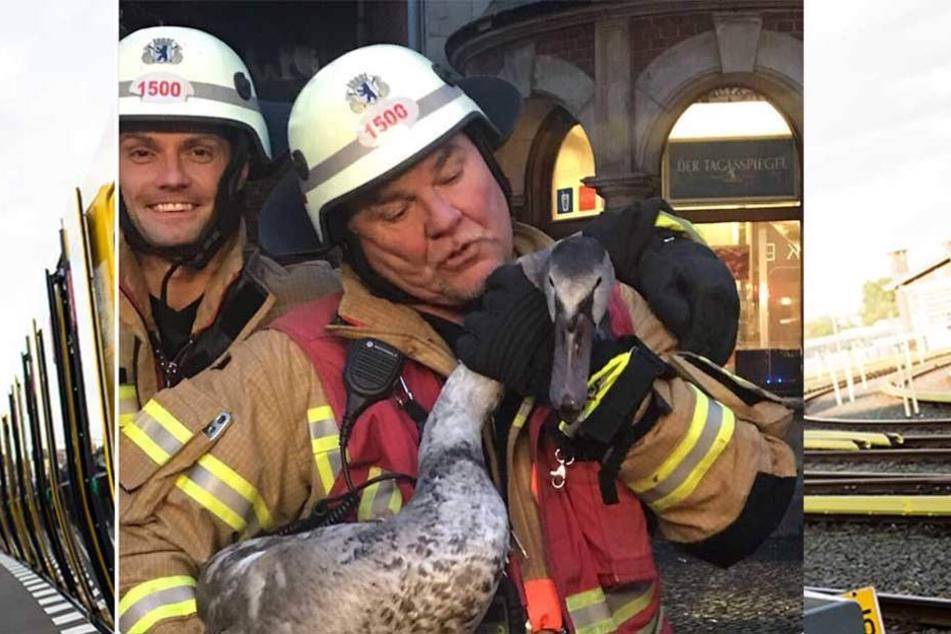 Die Feuerwehr rettete den verirrten Schwan von den Gleisen.