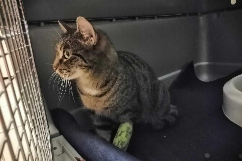 Die verletzte Katze wartet im Polizeirevier Werdau auf ihren Besitzer.