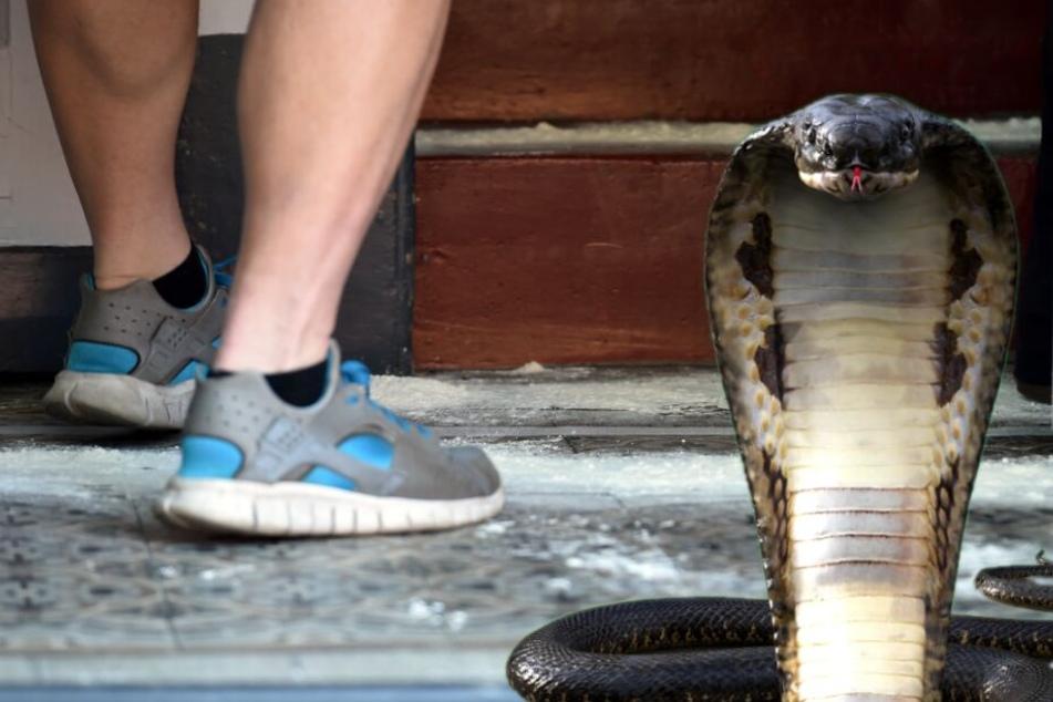 Giftige Kobra noch immer verschwunden: Nun kommt eine Fachfirma ins Spiel