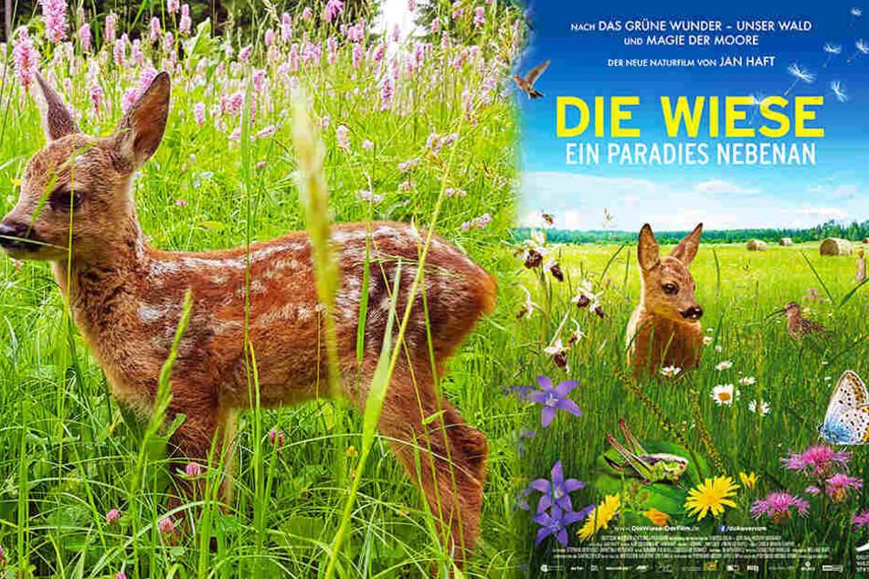Rehkitze werden von ihrer Mutter oft im tiefen Gras einer Wiese versteckt, wo es für Feinde nahezu nicht auszumachen ist. (Bildmontage)