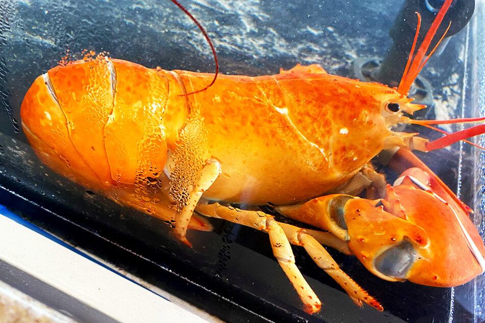 Mega seltener Fang: Das macht ein Restaurant mit dem orangefarbenen Hummer