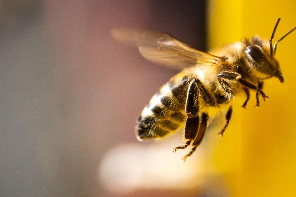 Vergiftet! Sieben Bienenvölker einfach getötet