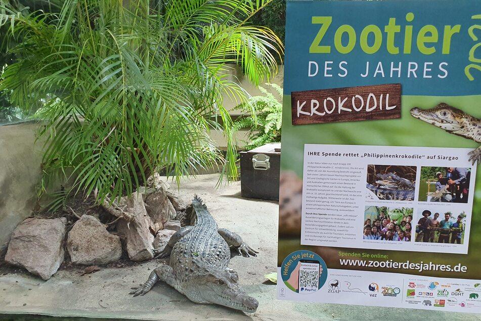 2013 gelang dem Kölner Aquariums-Team die Erstnachzucht des Philippinenkrokodils in Europa. Diese Pioniertat fand weltweit Beachtung.