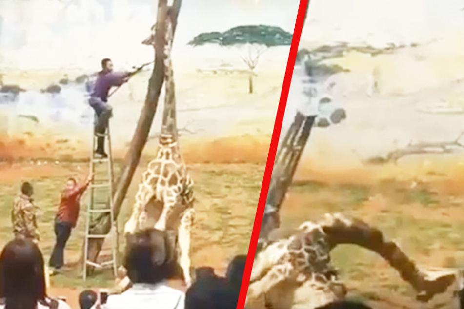Die Giraffe hat ihren Kopf eingeklemmt, wenige Minuten später ist sie tot.