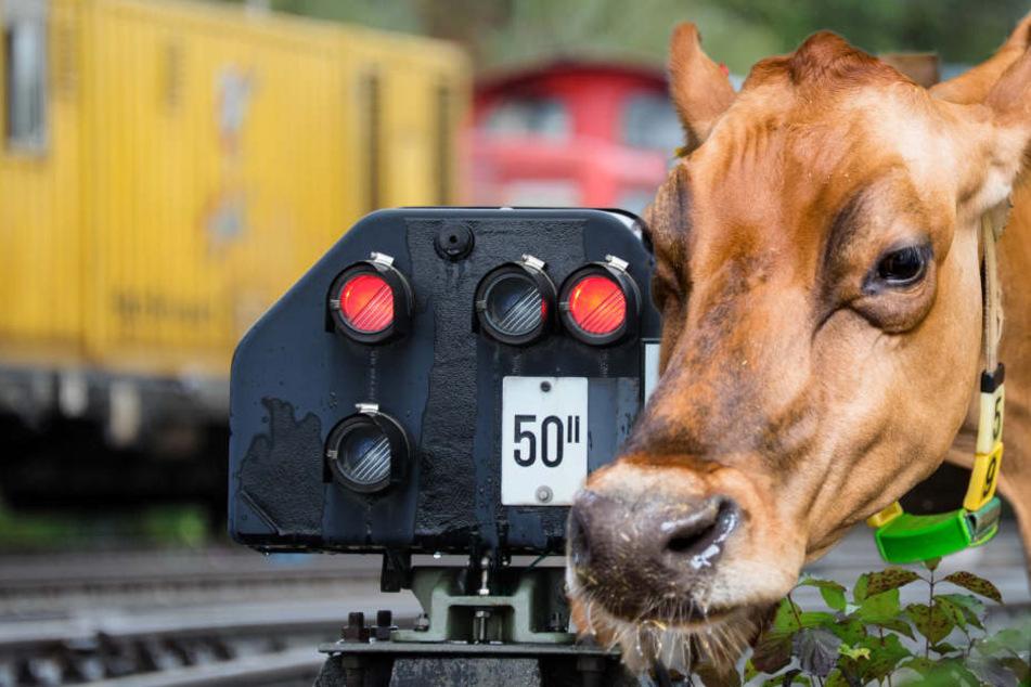 Die Kühe konnten dem Zug nicht mehr ausweichen. (Symbolbild/Fotomontage)
