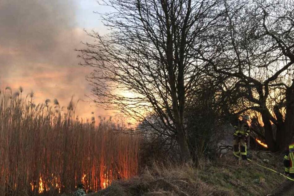 Feuerwehrleute versuchen auf einem zwei Hektar großen Feld das brennende Schilfrohr zu löschen.