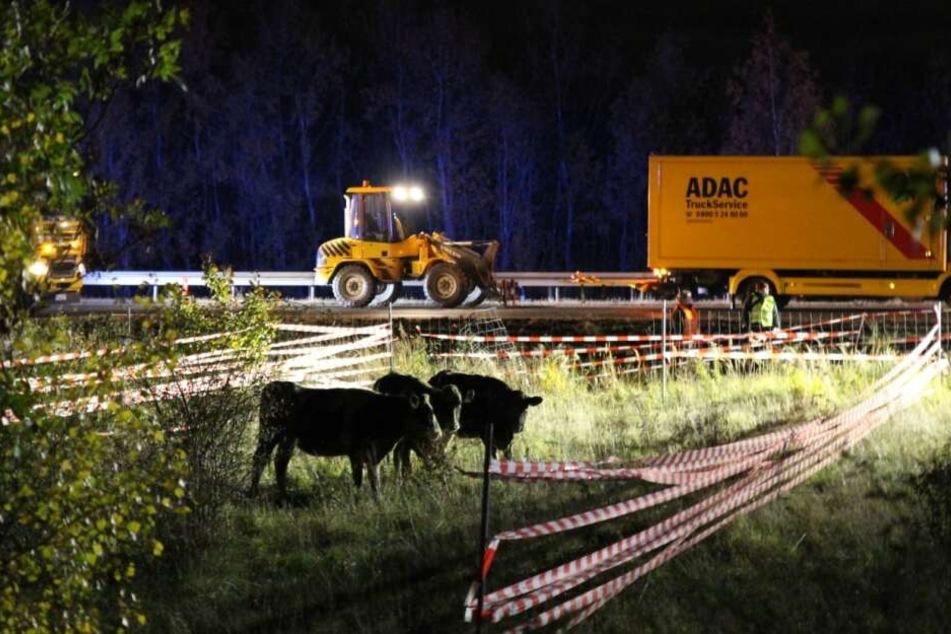 Die Autobahn war für mehrere Stunden gesperrt. Die Tiere wurden schließlich eingefangen.