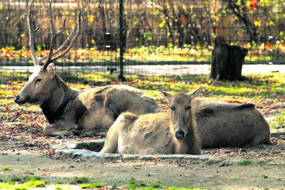 In den kommenden Monaten soll wieder ein Milu-Trio in das Gehege im Dresdner Zoo einziehen.