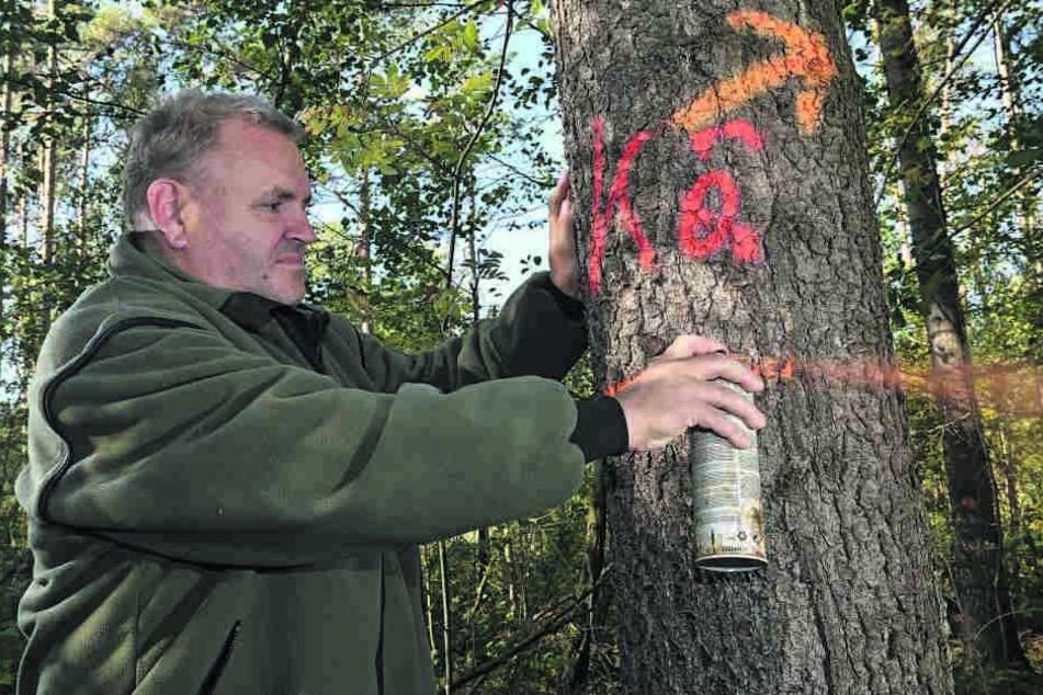 Forstamtsleiter Mario Erdmann (50) markiert bei Wermsdorf geschädigte Bäume.