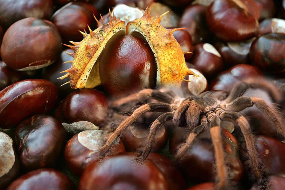 Kastanien Gegen Spinnen